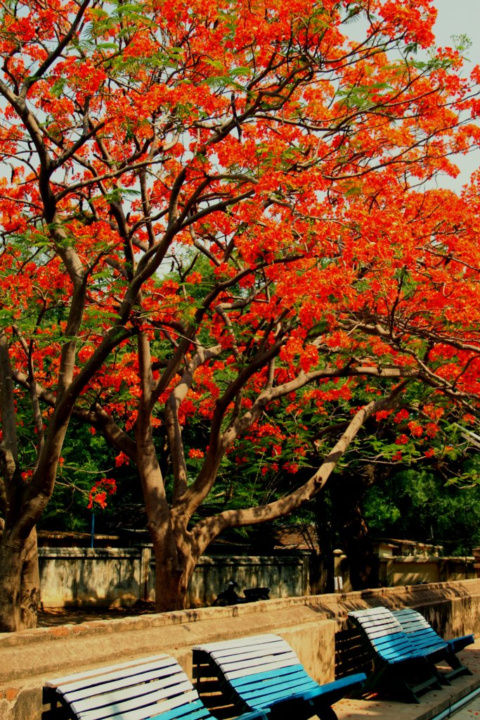 Blue bench under the flamboyant tree in Bagan, Myanmar