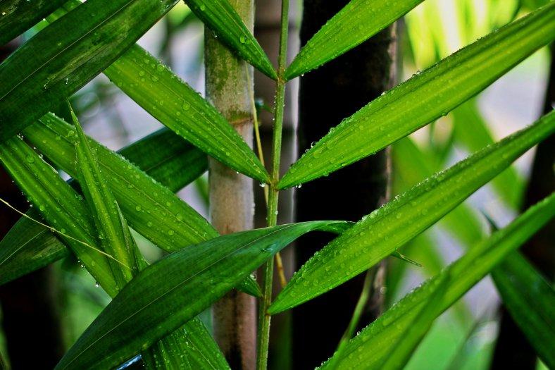 Rain drops on palm leaves