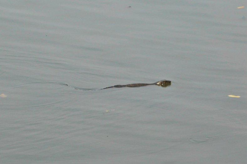 Hiii... ada hewan serupa ular air