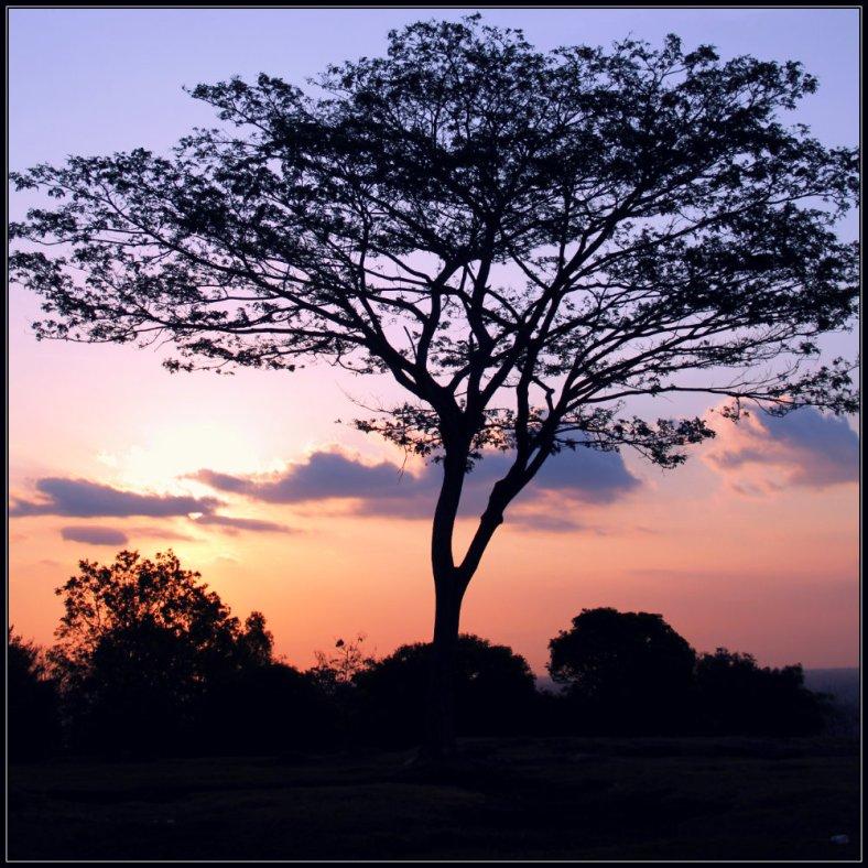 A tree siluet during sunset