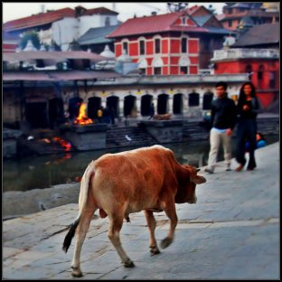A cow in Pashupatinath