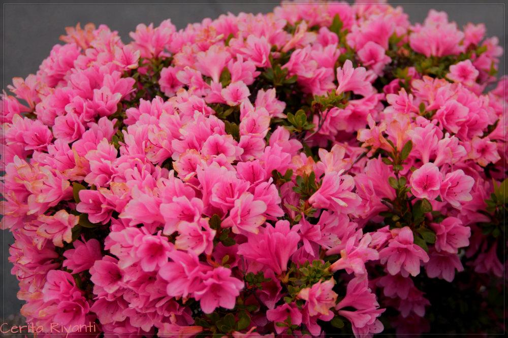 Flowers in Kamakura