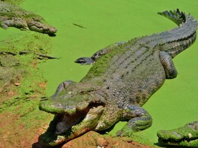 Where is the meal ? (a crocodile in crocodile farm)