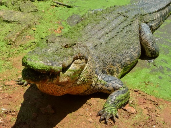 A crocodile in crocodile farm