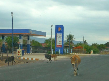 The cows on the way to Pakse