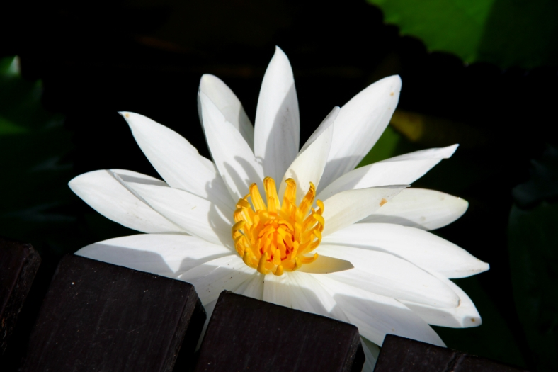 Lotus and The edge of Wooden Terrace