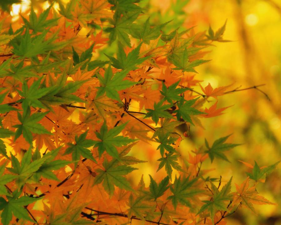 Autumn Leaves in Deoksugung