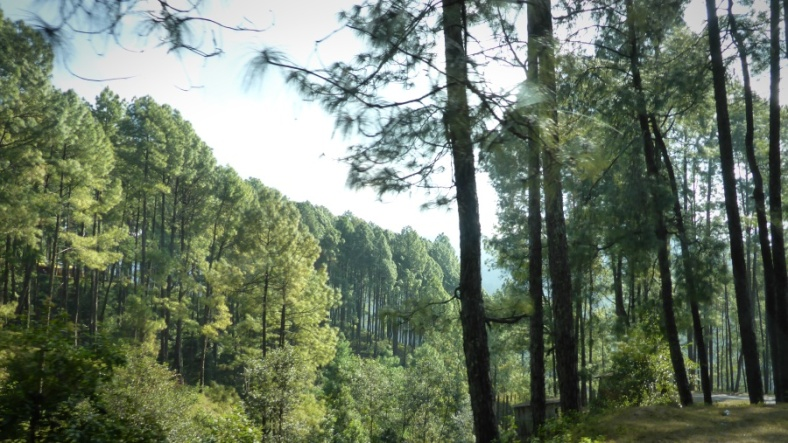 The Pines of Nagarkot