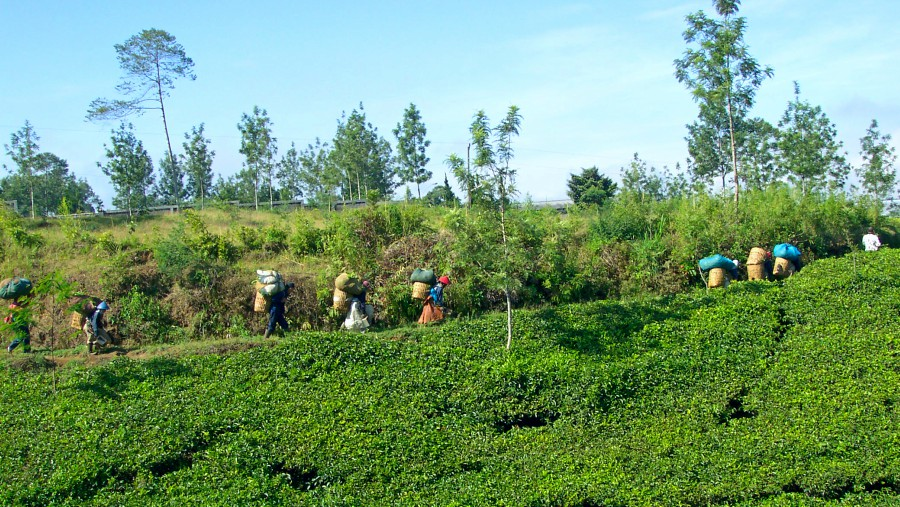 A group of tea pickers