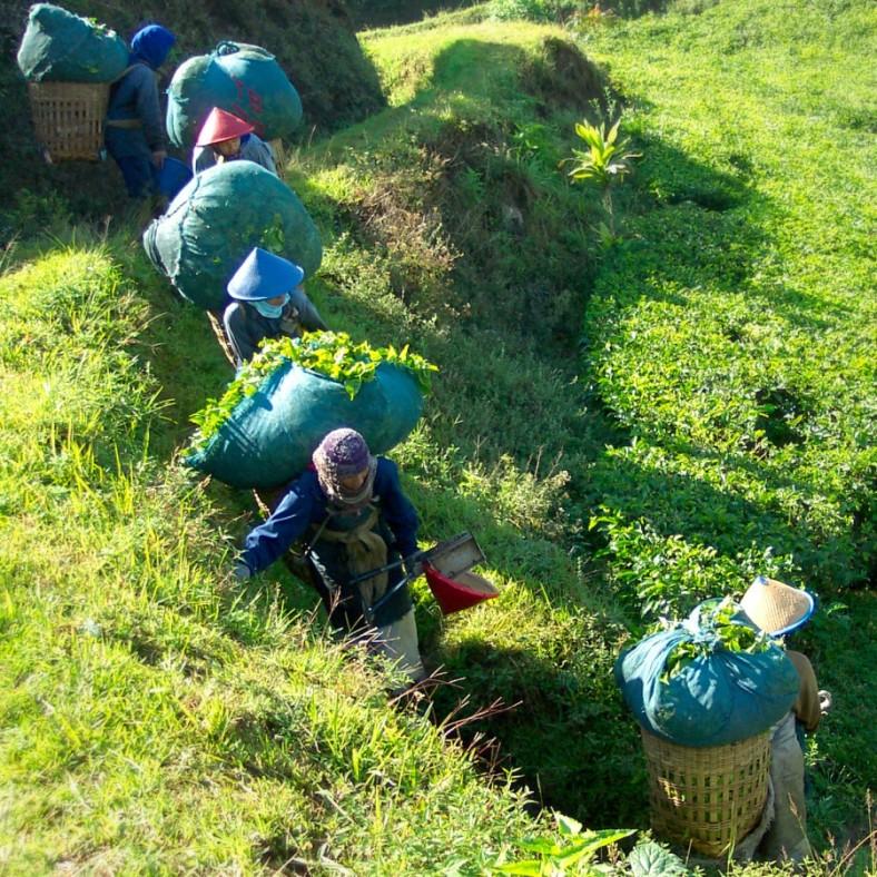Tea pickers with large bundles of tea leaves