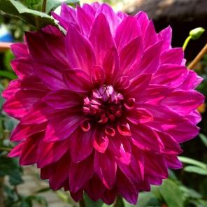 A Big Violet Flower
