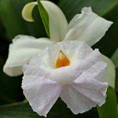 A White Cattleya