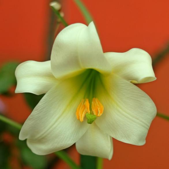 A White Lily