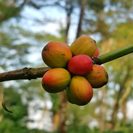 Mesastila - We can see how to make a delicious coffee from the beginning
