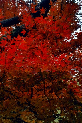 The red color tree in early winter in Sengakuji