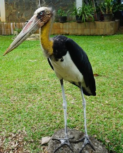 Adjuntant Stork
