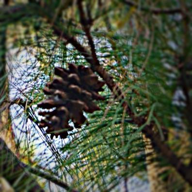 Strobilus of Pine Tree