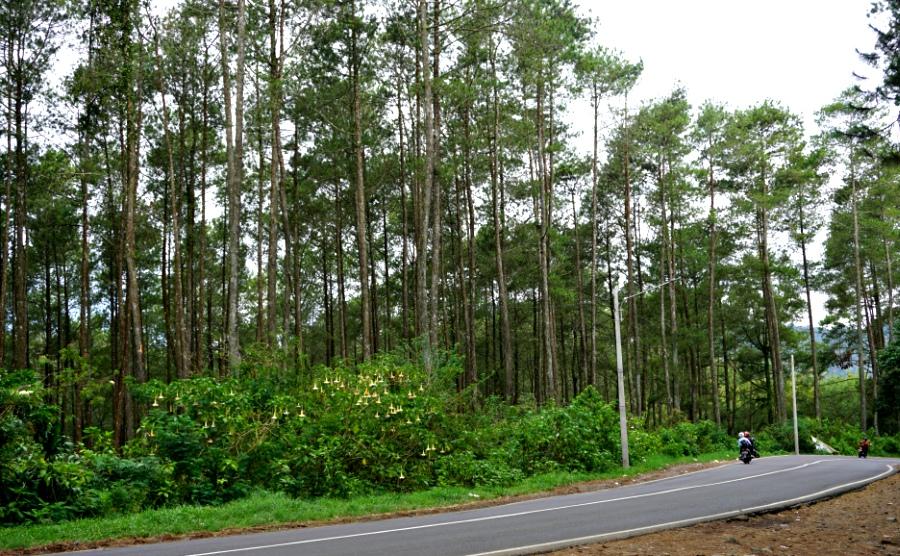 hutan pinus cikole