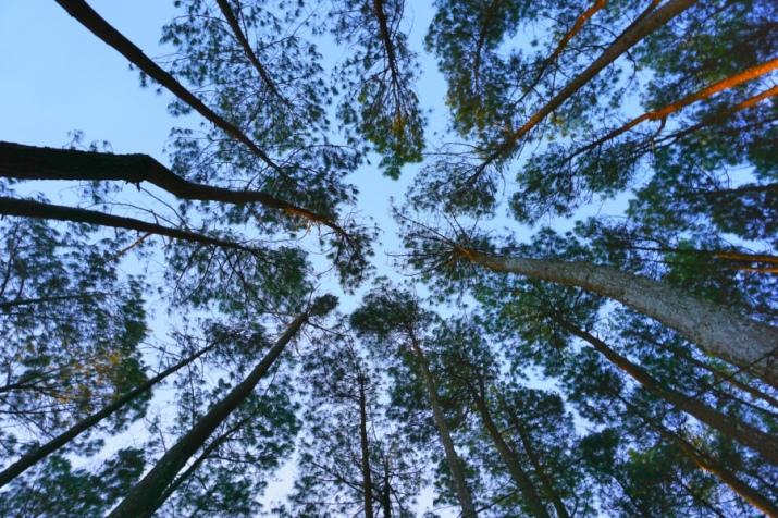 Pine Trees at Pengger, Bantul, Jogja