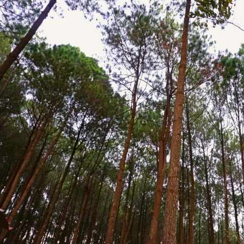 Pine Trees at Pengger 2, Bantul, Jogja