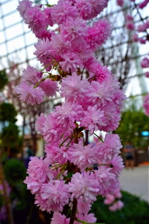 Hanging Sakura