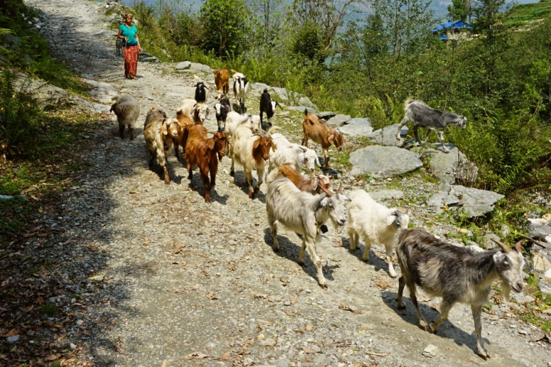 Herd of Goats, Landruk, Nepal