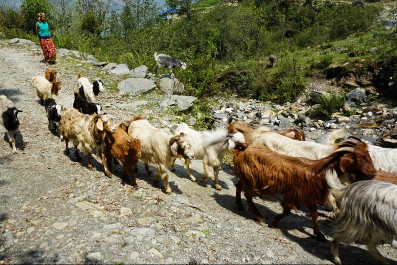 Herd of Goats, Landruk, Nepal